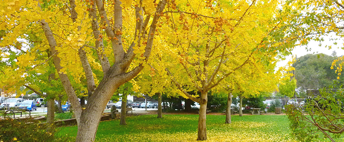 Fall Ginko trees